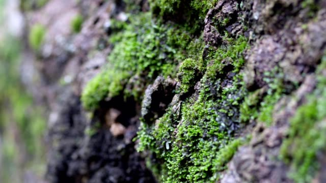 Close up of Moss on tree waterfall background.