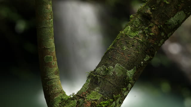 Close Up Of Mossy Tree And Waterfall In Australian Rainforest
