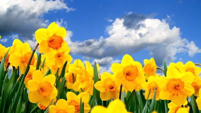 närbild av narcisser blommor med blå himmel och moln i bakgrunden. - blue yellow bildbanksvideor och videomaterial från bakom kulisserna