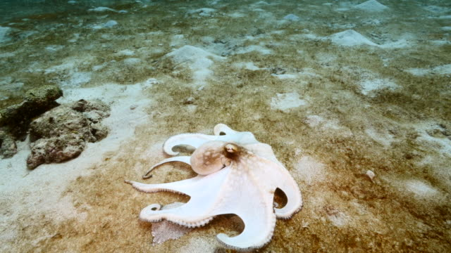 Close up of Octopus in coral reef of the Caribbean Sea / Curacao video