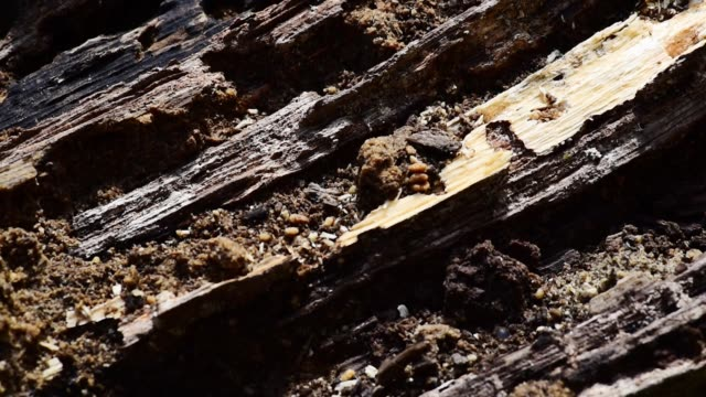 Close up of old dark wooden rotten stump log timber rotting for decades of fallen tree in the woodland forest selective focus