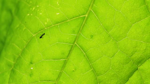 vidéos et rushes de gros plan d'une fourmi noire, marchant sur la feuille, 4k - nervure