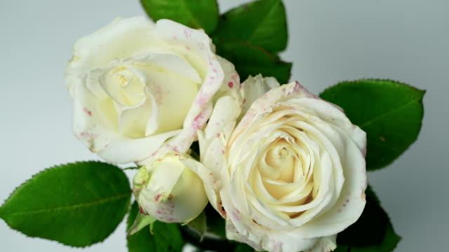 närbild av öppnings bukett av vita rosor, blommande vit ros, vacker natur bakgrund, isolerad på vitt, monokrom - white roses bildbanksvideor och videomaterial från bakom kulisserna