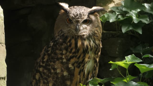 Close up of owl on branch video