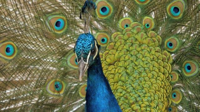 крупным планом павлинья голова с открытыми перьями - peacock стоковые видео и кадры b-roll