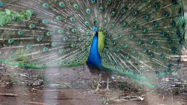 close up of peacock showing its beautiful feathers - peacock filmów i materiałów b-roll