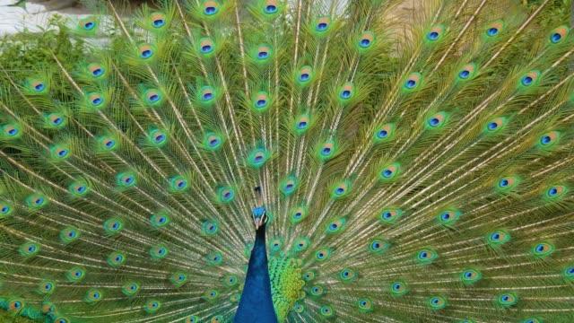 крупным планом павлина - peacock стоковые видео и кадры b-roll