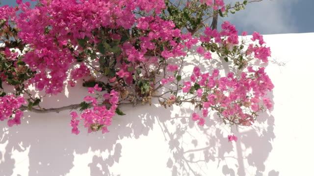 ギリシャ ミコノス島の建物の上のピンクのブーゲンビリアのクローズ アップ - ギリシャ点の映像素材/bロール