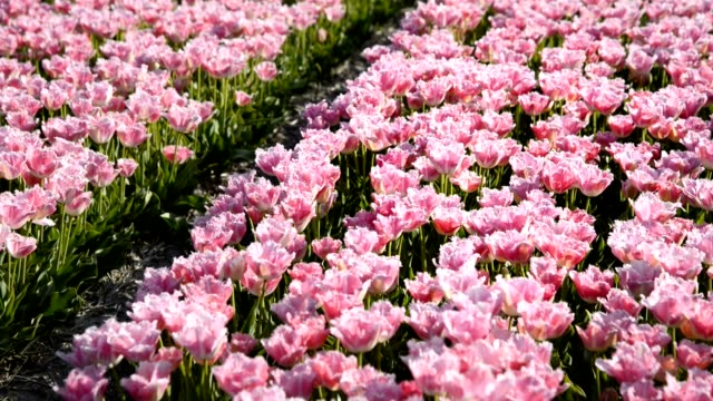 close up of Pink tulips moving in the wind video