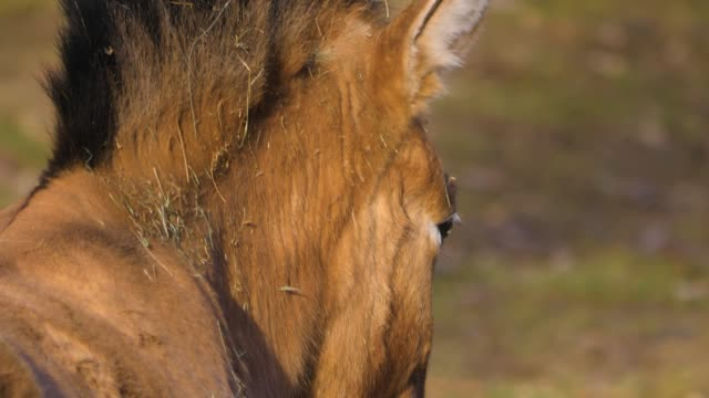 close up of przewalskis horse video