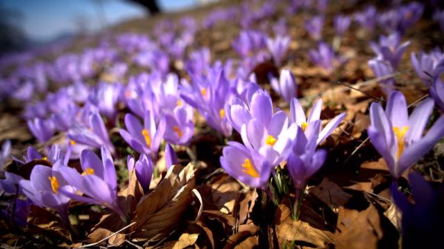 vidéos et rushes de fermer des fleurs de corcus pourpre au début du printemps - crocus