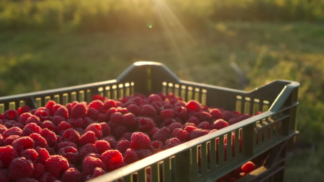 Close up of raspberries bathed in the sun in a crate in the middle of the field