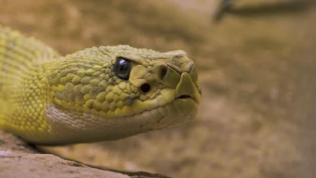 vídeos y material grabado en eventos de stock de cerca de la cabeza de las serpientes de rata - nocivo descripción física