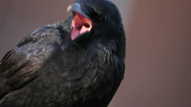närbild på raven craw - illavarslande bildbanksvideor och videomaterial från bakom kulisserna