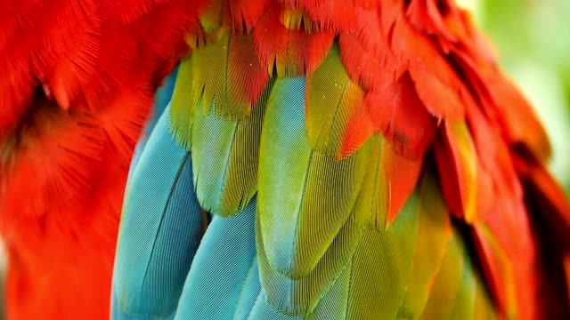 close up of red amazon scarlet macaw parrot or ara macao, in tropical jungle forest. wildlife colorful portrait of bird - piume colorate video stock e b–roll
