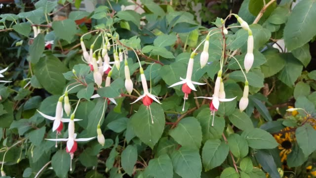 Close up of red and white fuchsia flowers moving in the wind