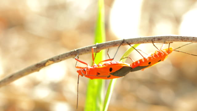 Close up of red cotton stainer bugs mating on green leaf