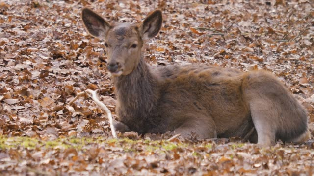 close up of red deer - jelonek filmów i materiałów b-roll