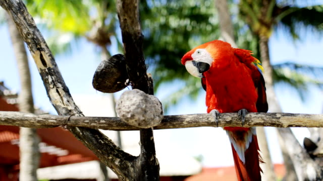 close up of red parrot sitting on perch video