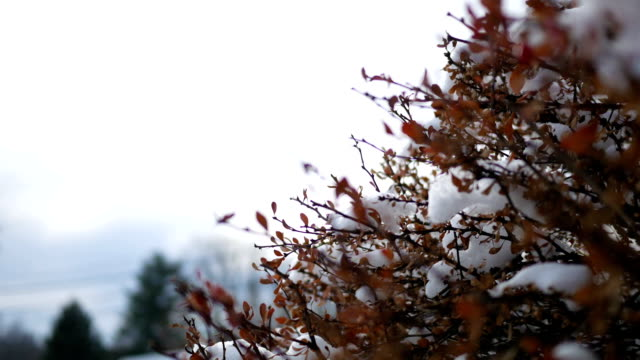close up of red wintry bush in pennsylvania with clumps of snow - joseph kelly stock videos and b-roll footage