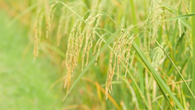 Close up of rice spike in rice field. video