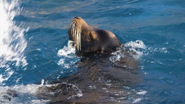 närbild av sjölejon som leker i vatten - morrhår bildbanksvideor och videomaterial från bakom kulisserna