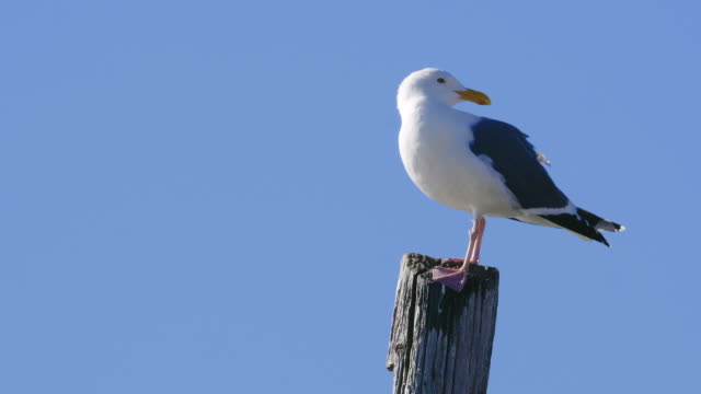 Close Up of Seagull A close up of a seagull standing against a blue background. seagull stock videos & royalty-free footage
