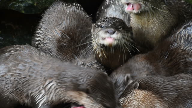 Close up of several river otters eat chicken meat video