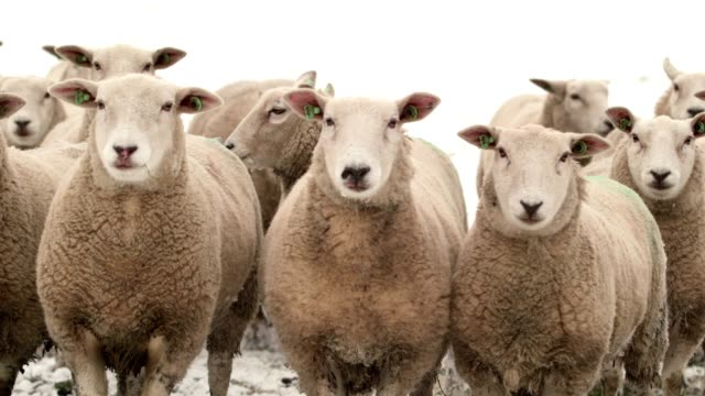 close up of sheeps in the snow video