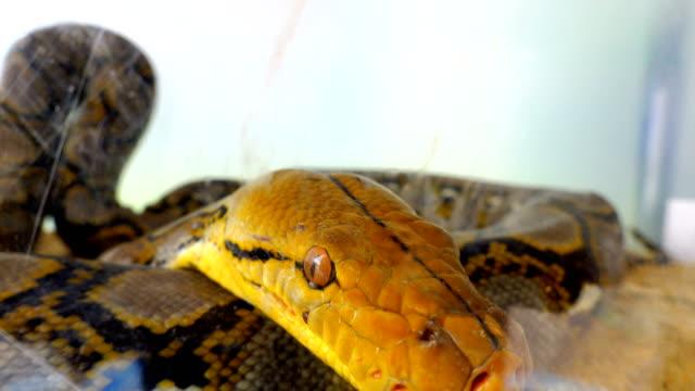 stockvideo's en b-roll-footage met close up van slangenogen en mondjacht - reptiel