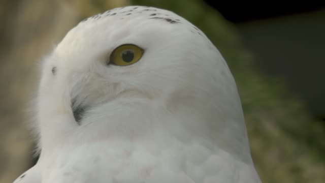 Close up of snowy owl video