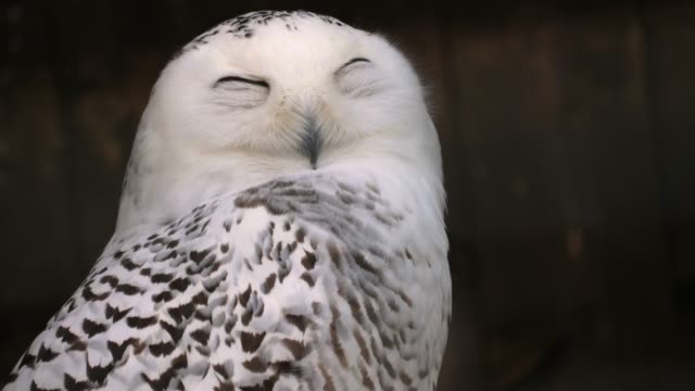 stockvideo's en b-roll-footage met close-up van sneeuwuil - uil