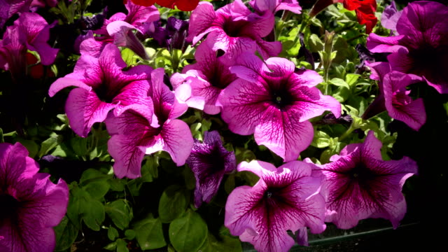 Close up of some beautiful pink hanging petunia flowers are moving in wind video