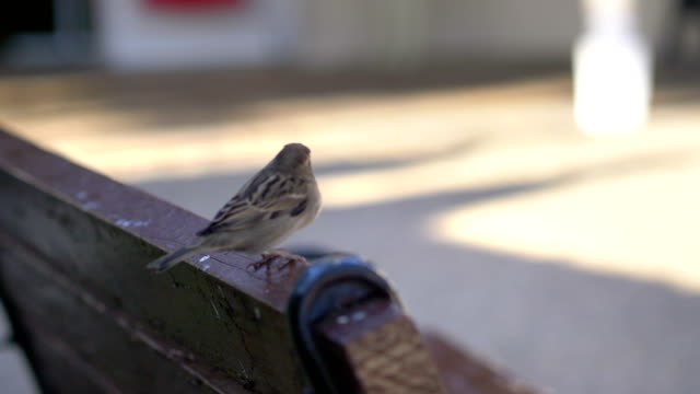 Close up of sparrow sitting on the bench in 4K slow motion 60fps
