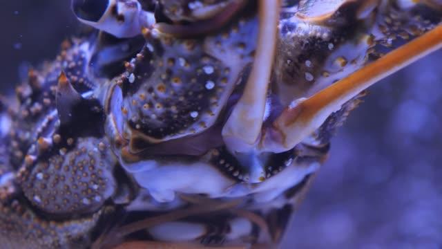 nahaufnahme von spiny lobster, langostino - aquarium oder zoo stock-videos und b-roll-filmmaterial