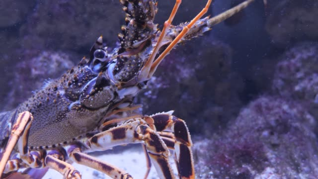 närbild på spinyhummer, langostino - akvarium byggnad för djur i fångenskap bildbanksvideor och videomaterial från bakom kulisserna