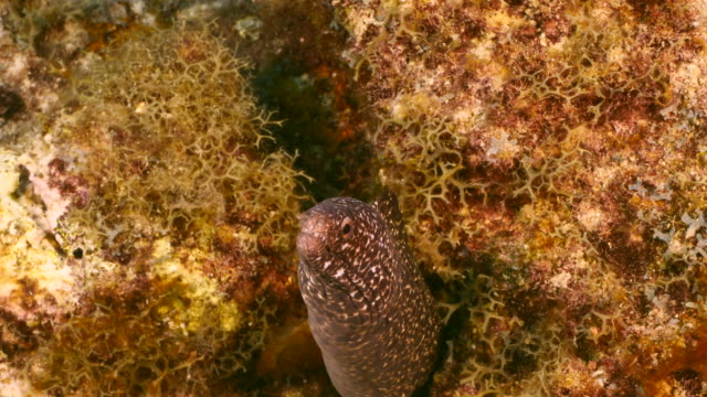 Close up of Spotted Moray Eel in coral reef of the Caribbean Sea / Curacao video