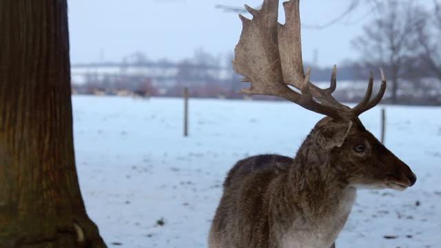 vídeos y material grabado en eventos de stock de primer plano de despedida deer en la nieve - reno mamífero