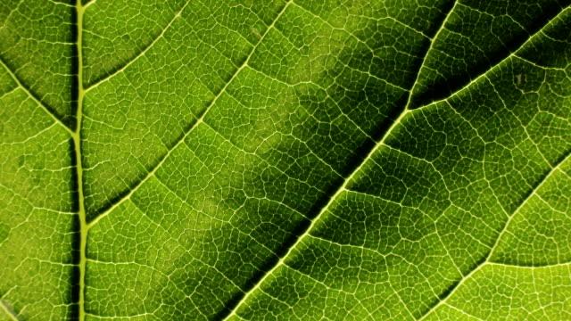 vidéos et rushes de fermez-vous vers le haut de la structure fond de texture de feuilles vertes - nervure