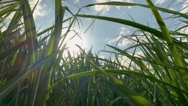 Close Up Of Sugar Cane Crop Waving In The Breeze Australian Sugar Cane Crop growing on farm in regional northern NSW. 4K Video. sugar cane stock videos & royalty-free footage