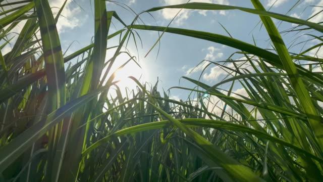 close up of sugar cane crop waving in the breeze - сахарный тростник стоковые видео и кадры b-roll