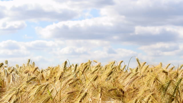 vidéos et rushes de gros plan de récolte de blé de l'été sur le terrain contre le ciel bleu - blé