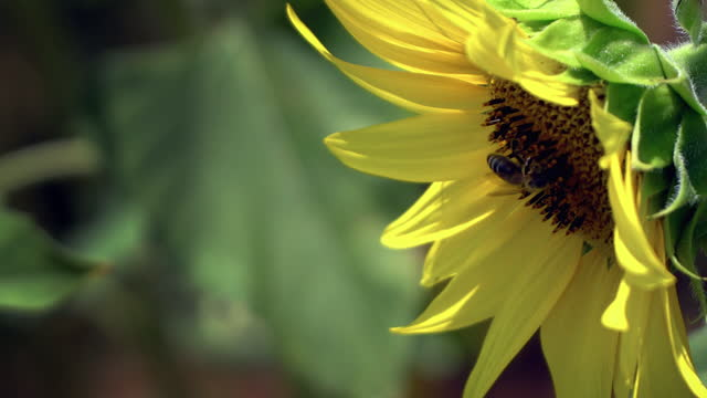 Close up of sunflower and bee collecting nectar