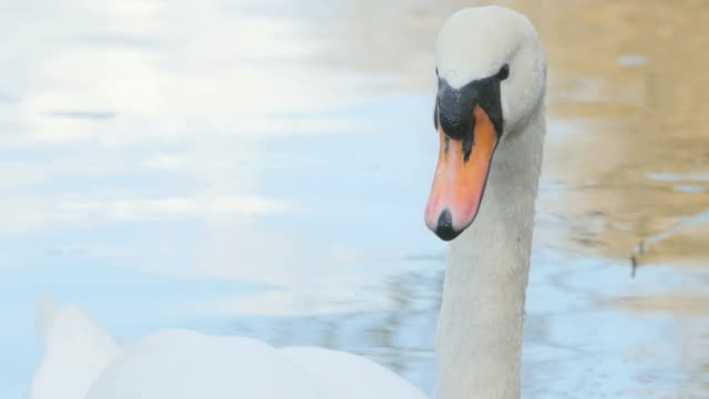 Close up of swan's head video