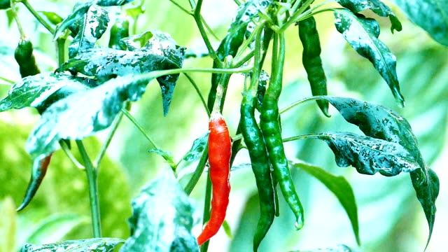 Close up of Thai hot chilli getting ripe on its tree video