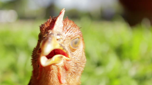 Close up of the head of a funny red cock