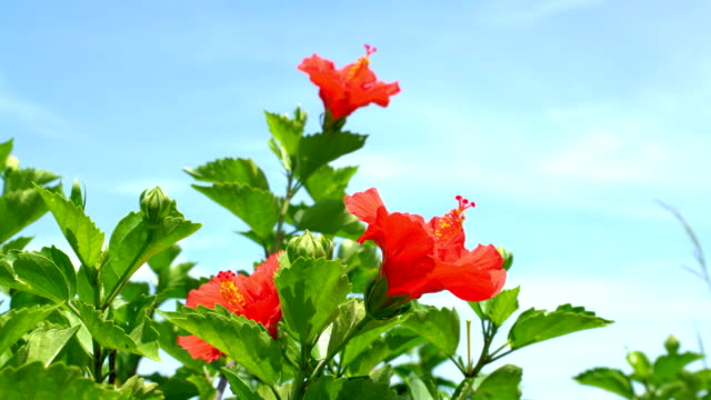 close up of the hibiscus - video