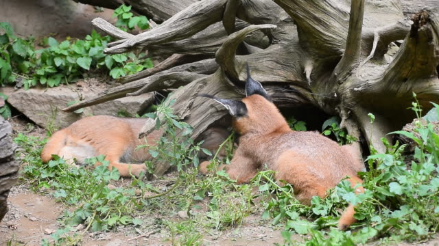 Close up of three baby caracal kittens playing video