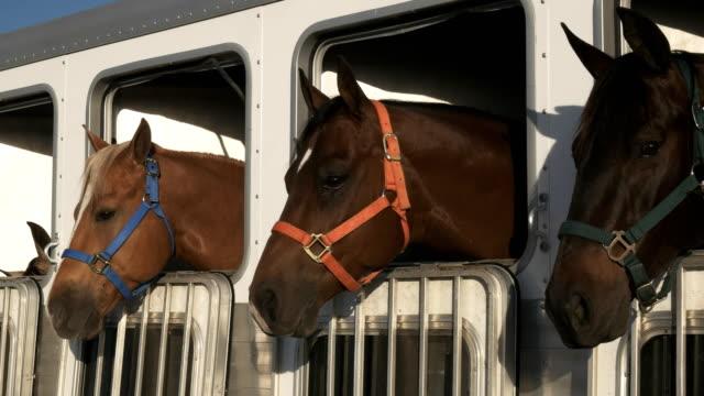närbild på tre hästar i en trailer nära kvartsit, az - häst tävling bildbanksvideor och videomaterial från bakom kulisserna