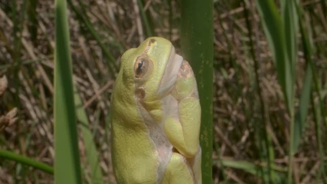 Close up of Tree frog sitting on a green stalk on a reed background. European tree frog (Hyla arborea, Rana arborea) in the natural habitat.